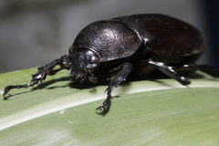 Escarabajo de rinoceronte Foto de archivo