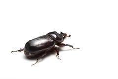Escarabajo de rinoceronte aislado Imagenes de archivo