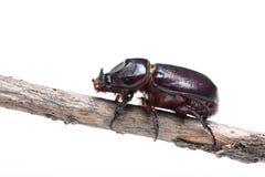 Escarabajo de rinoceronte aislado Imagen de archivo