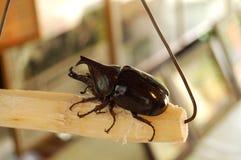 Escarabajo de rinoceronte de cuernos de Borneo Foto de archivo