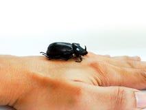 Escarabajo de rinoceronte del coco Imágenes de archivo libres de regalías