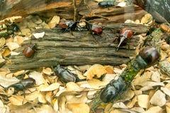 Escarabajo de rinoceronte, escarabajo del rinoceronte, escarabajo que lucha Escarabajo del cuerno Escarabajo de H?rcules imagen de archivo