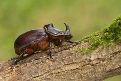 Escarabajo de rinoceronte en la madera vieja y el musgo verde foto de archivo