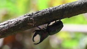 Escarabajo de rinoceronte en Tailandia y Asia sudoriental metrajes