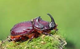 Escarabajo de rinoceronte europeo en el salvaje Foto de archivo libre de regalías