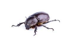 Escarabajo de rinoceronte femenino Imagenes de archivo