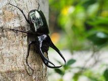 Escarabajo de rinoceronte gigante fotos de archivo libres de regalías