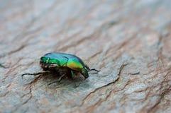 Escarabajo de Rose Fotos de archivo