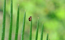 Escarabajo de señora Fotografía de archivo libre de regalías