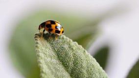 Escarabajo de señora almacen de metraje de vídeo