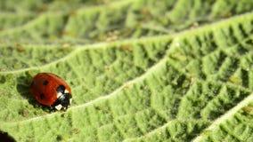 Escarabajo de señora en una hoja verde almacen de video