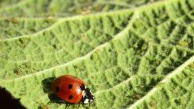 Escarabajo de señora en una hoja verde almacen de metraje de vídeo