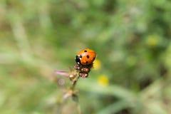 Escarabajo de señora encima de un tronco Imagen de archivo libre de regalías