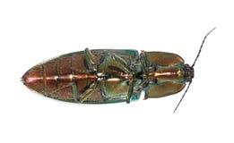 Escarabajo de tecleo fotografía de archivo libre de regalías