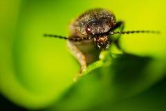 Escarabajo de tecleo Fotos de archivo libres de regalías
