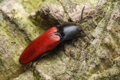 Escarabajo de tecleo Imagen de archivo libre de regalías