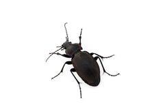 Escarabajo de tierra Imágenes de archivo libres de regalías