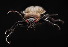 Escarabajo de tierra fotos de archivo libres de regalías