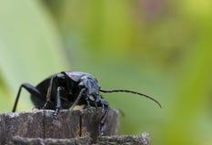 Escarabajo de tierra Imagenes de archivo