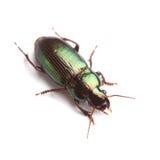 Escarabajo de tierra (affinis de Harpalus) aislado en blanco Fotografía de archivo