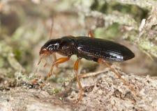 Escarabajo de tierra en la madera Imagen de archivo libre de regalías
