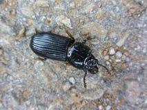 Escarabajo de tierra negro común - melanarius de Pterostichus Fotos de archivo libres de regalías