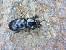 Escarabajo de tierra negro común - melanarius de Pterostichus Foto de archivo libre de regalías