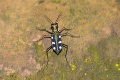 Escarabajo de tigre Imágenes de archivo libres de regalías