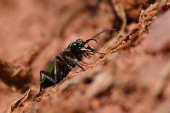 Escarabajo de tigre Fotos de archivo