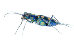 Escarabajo de tigre azul fotos de archivo