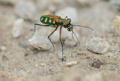 Escarabajo de tigre - cierre del aurulenta de Cosmodela para arriba Imagen de archivo libre de regalías