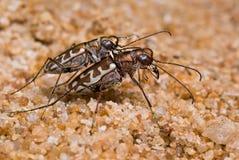 Escarabajo de tigre en la acción Foto de archivo libre de regalías