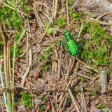 Escarabajo de tigre seis-manchado verde claro en el piso del bosque en el parque de estado del desierto de montañas del puerco es foto de archivo libre de regalías