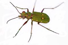 Escarabajo de tigre verde (campestris de Cicindela) Fotos de archivo libres de regalías