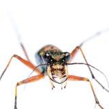 Escarabajo de tigre verde, Hetodonta imágenes de archivo libres de regalías