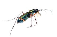 Escarabajo de tigre verde, Hetodonta fotos de archivo