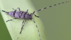 Escarabajo de Timberman en fondo verde Imágenes de archivo libres de regalías