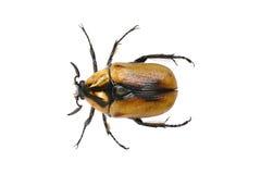 Escarabajo del abejorro Foto de archivo