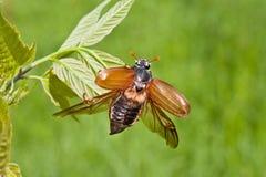 Escarabajo del abejorro Fotos de archivo
