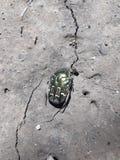 Escarabajo del abejorro imágenes de archivo libres de regalías