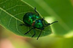 Escarabajo del Apocynum androsaemifolium Imagen de archivo libre de regalías