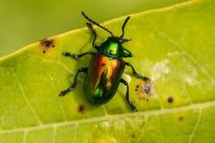 Escarabajo del Apocynum androsaemifolium imagen de archivo