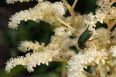 Escarabajo del Apocynum androsaemifolium (auratus de Chrysochus) Foto de archivo