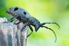 Escarabajo del bosque - funereus de Morimus Imagenes de archivo