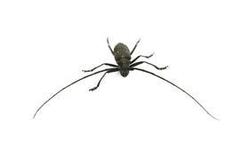 Escarabajo del Capricornio Foto de archivo