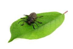 Escarabajo del Capricornio Foto de archivo libre de regalías