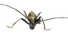Escarabajo del Capricornio Fotografía de archivo libre de regalías