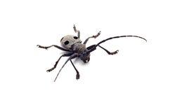 Escarabajo del Capricornio aislado Imagen de archivo libre de regalías