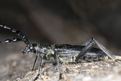 Escarabajo del Capricornio (scopolii de Cerambyx) Imagen de archivo