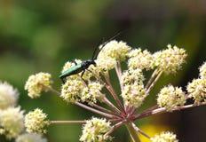 Escarabajo del Capricornio (scopolii de Cerambyx) en la flor. Foto macra. Foto de archivo libre de regalías